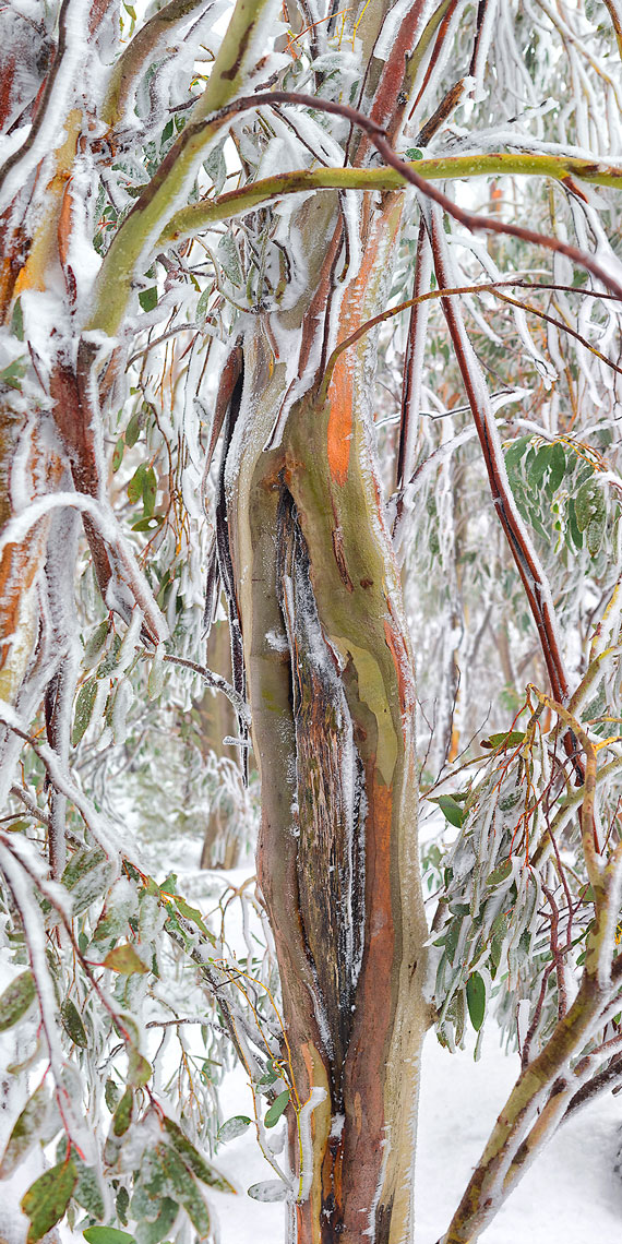 Snow Gum Study 1 - Open Edition