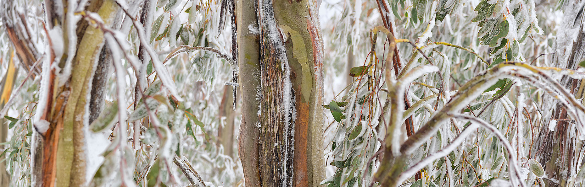 Snow Gum Study 3 - Open Edition